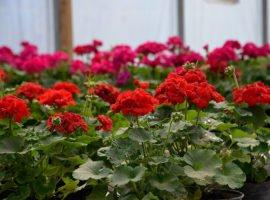 Trandafiri-altoiti